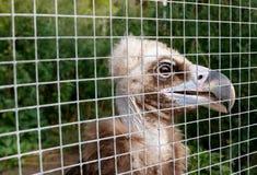 Il giovane avvoltoio in una gabbia allo zoo Immagine Stock Libera da Diritti