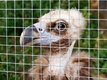 Il giovane avvoltoio in una gabbia allo zoo Concetto del trattamento crudele fotografie stock libere da diritti