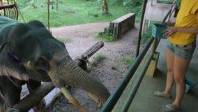 Il giovane bello viaggiatore della ragazza alimenta la banana dell'elefante archivi video