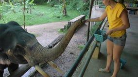 Il giovane bello viaggiatore della ragazza alimenta la banana dell'elefante stock footage