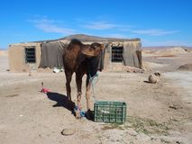 Il giovane cammello sveglio ed il cottage marocchino in villaggio sul deserto del Sahara abbelliscono nel Marocco centrale Fotografia Stock
