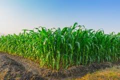 Il giovane campo di grano verde al giardino ed alla luce agricoli della Tailandia splende il tramonto nella sera Immagine Stock