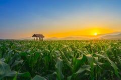 Il giovane campo di grano verde al giardino ed alla luce agricoli della Tailandia splende il tramonto nella sera Immagini Stock