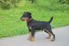 Il giovane cane cresce terrier tedesco di caccia fotografie stock