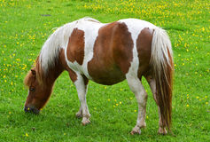 Il giovane cavallino o puledro che pasce nell'agricoltori sistema un giorno di estati Fotografia Stock