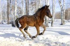 Il giovane cavallo galoppa velocemente Fotografia Stock Libera da Diritti