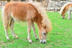 Il giovane cavallo mangia l'erba all'azienda agricola Immagine Stock