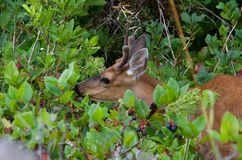 Il giovane cervo con coda nera con i piccoli corni passa in rassegna sulle bacche salal su una delle isole di Bunsby fotografia stock