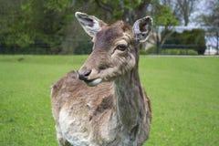 Il giovane cervo sveglio sta da solo Fotografia Stock Libera da Diritti
