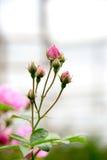 Il giovane colore rosa è aumentato Fotografie Stock Libere da Diritti