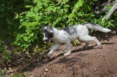 Il giovane Fox del marmo (vulpes di vulpes) insegue a partire dalla tana Fotografia Stock Libera da Diritti