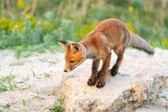 Il giovane Fox rosso sta vicino al suo foro fotografie stock