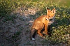 Il giovane Fox rosso sta vicino alla sua tana fotografia stock libera da diritti