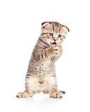 Il giovane gatto allegro divertente sta levandosi in piedi fotografia stock