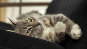 Il giovane gatto sveglio si trova su una sedia che allunga le suoi zampe e sembrare sleali fotografie stock libere da diritti