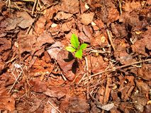 Il giovane germoglio verde fotografie stock