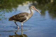 Il giovane ibis guada in acqua Fotografia Stock