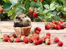 Il giovane istrice si siede in un canestro accanto alle fragole nel giardino Immagini Stock Libere da Diritti