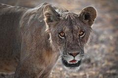 Il giovane leone maschio in su si chiude nel Kenia Immagini Stock Libere da Diritti