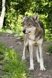 Il giovane lupo ha notato qualche cosa di interessante nella distanza Fotografie Stock Libere da Diritti