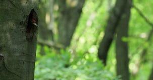 Il giovane martius nero di Dryocopus del picchio - pulcino nella foresta che guarda aspettare e dal foro di incastramento il suo  archivi video