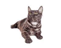Il giovane nero e Grey Tabby Cat Looking Up Fotografia Stock