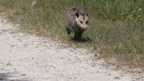 Il giovane opossum cammina nel pascolo di Florida video d archivio