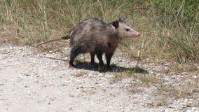 Il giovane opossum cammina nel pascolo di Florida archivi video