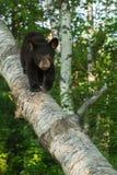 Il giovane orso nero (ursus americanus) cammina giù il ramo della betulla Fotografie Stock