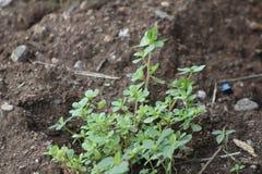 Il giovane pianta le piantine delle sporofite dopo germinazione fotografia stock