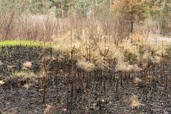 Il giovane pino di legni ha bruciato dopo una struttura del fondo dell'incendio forestale Immagini Stock