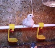 Il giovane pollo da carne è riscaldato da una lampada infrarossa fotografia stock