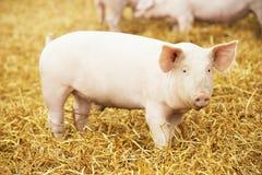 Il giovane porcellino su fieno e la paglia all'allevamento del maiale coltivano Fotografie Stock Libere da Diritti