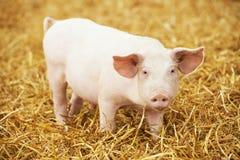 Il giovane porcellino su fieno e la paglia all'allevamento del maiale coltivano Fotografia Stock