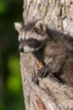 Il giovane procione (lotor del Procyon) guarda fuori dall'albero Fotografie Stock