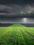 Il giovane raccolto del grano nel campo contro la grande tempesta Fotografia Stock