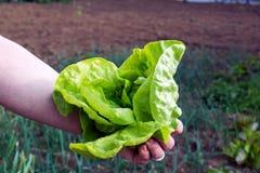 Il giovane raccolto della lattuga, coglie dal giardino Immagine Stock
