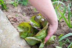 Il giovane raccolto della lattuga, coglie dal giardino Fotografia Stock