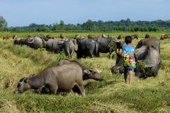 Il giovane ragazzo porta l'alimento per alimentare i bufali nel giacimento del riso Fotografia Stock