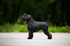 Il giovane Schnauzer miniatura sta levandosi in piedi nel profilo Fotografia Stock