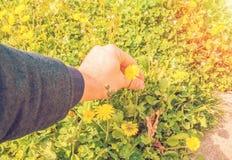 Il giovane seleziona i fiori sul prato del fiore per la sua amica ai raggi del tramonto si accende, coppie di amore di relazione Fotografie Stock Libere da Diritti