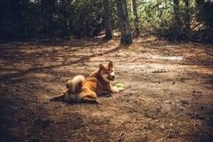 Il giovane shiba-inu rosso del cane gioca in natura fotografia stock libera da diritti