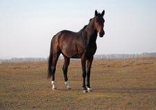 Il giovane stallone della baia che sta sul campo Immagine Stock