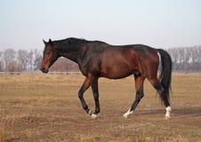 Il giovane stallone della baia che va ad una passeggiata sul campo Fotografia Stock