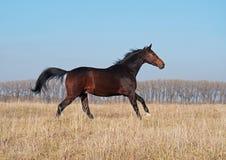 Il giovane stallone della baia galoppa sul campo Fotografia Stock