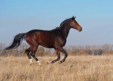 Il giovane stallone della baia galoppa sul campo Fotografia Stock Libera da Diritti