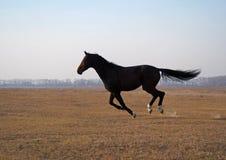 Il giovane stallone della baia galoppa sul campo Fotografie Stock Libere da Diritti