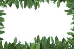 Il giovane verde lascia il bordo su priorità bassa bianca Immagine Stock