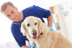 Il giovane veterinario allegro sta esaminando lo stato dell'animale domestico fotografie stock libere da diritti