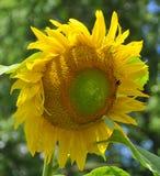 Il girasole è un nativo annuale della pianta nei Americas fotografia stock